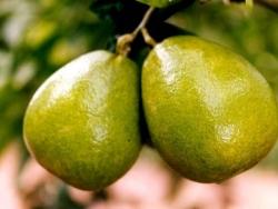 食-龙安柚